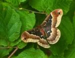 Promethea moth Callosamia promethea Skogstjarna Carlton Co MNIMG_7537