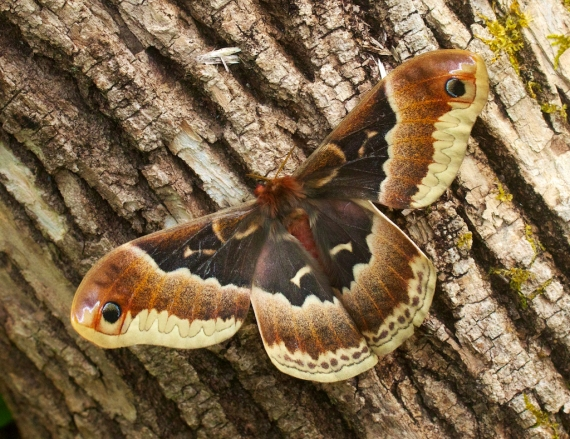 Promethea moth Callosamia promethea Skogstjarna Carlton Co MN IMG_7544