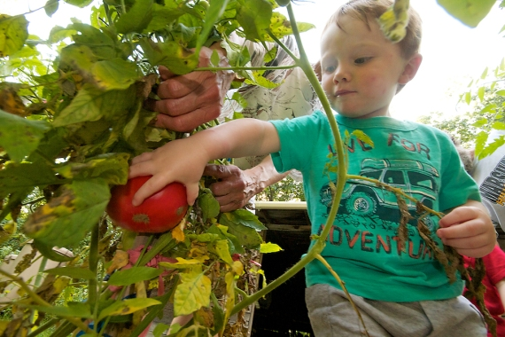 Bjorn picking tomato Webers Carlton Co MN IMG_0065395