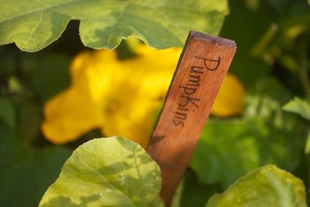 pumpkin blossom Bridget's garden Skogstjarna Carlton Co MN IMG_3984