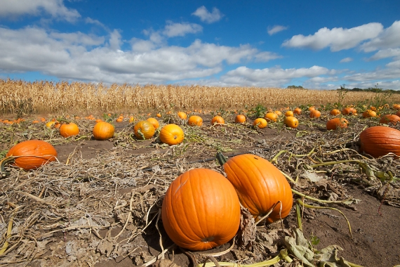 Pumpkin field horiz Hennepin Co MN IMG_0066639
