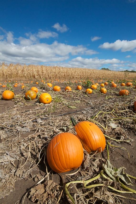 Pumpkin field vert Hennepin Co MNIMG_0066638