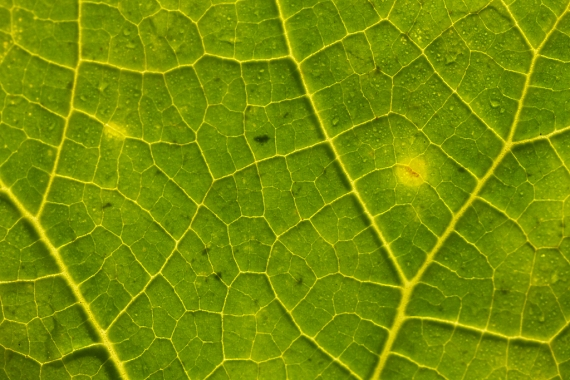Squash leaf Bridget's garden Skogstjarna Carlton Co MN IMG_4040