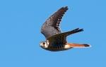 American Kestrel male Hawk Ridge Duluth MNIMG_7611