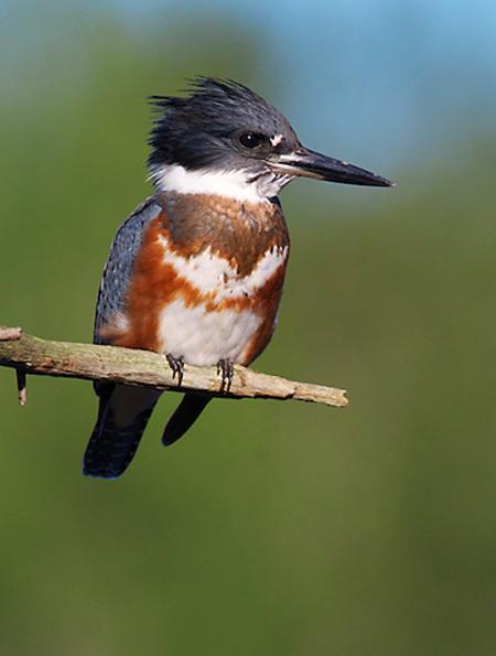 Belted Kingfisher Kimmes-Tobin Wetlands Douglas Co WI IMG_5801