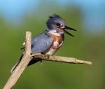 Belted Kingfisher Kimmes-Tobin Wetlands Douglas Co WIIMG_5828