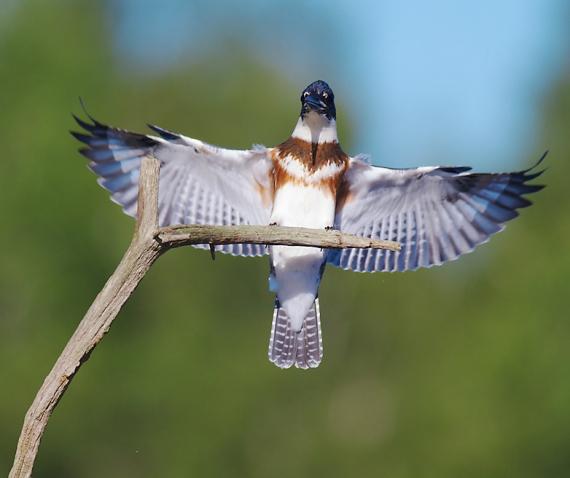 Belted Kingfisher Kimmes-Tobin Wetlands Douglas Co WI IMG_5851