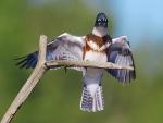 Belted Kingfisher Kimmes-Tobin Wetlands Douglas Co WIIMG_5852