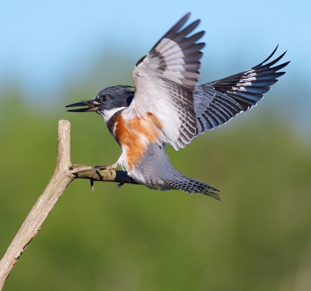 Place it, and they will come. Belted Kingfisher