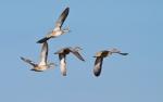 Blue-winged Teal flock Crex Meadows Grantsburg WIIMG_6549