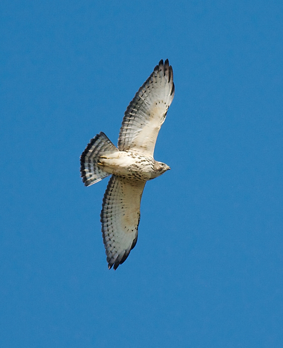 Broad-winged Hawk Hawk Ridge Duluth MN IMG_7516