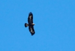 Golden Eagle juvenile Hawk Ridge Duluth MNIMG_7581