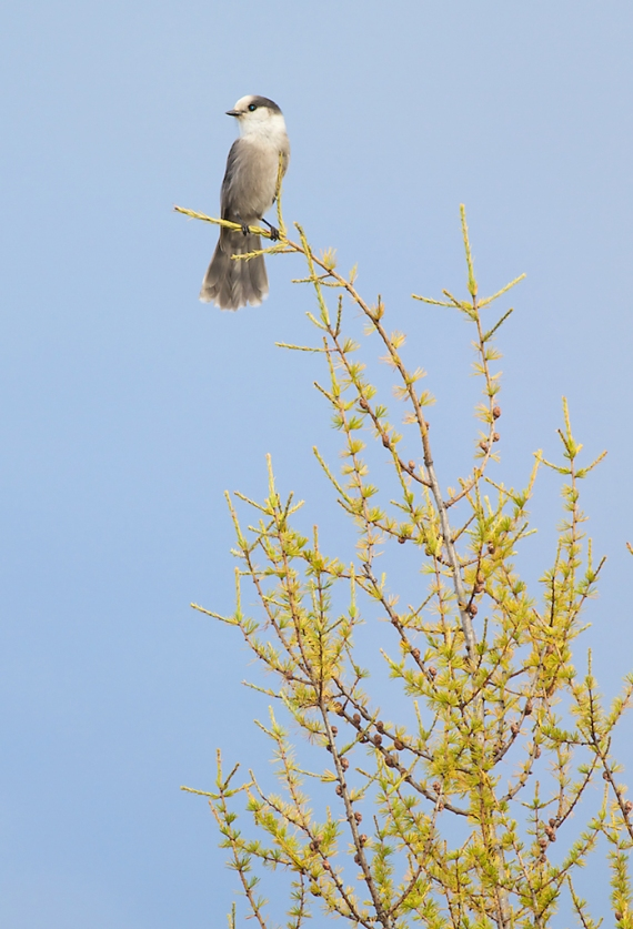 Gray Jay in gold Tamarack Admiral Rd Sax-Zim Bog MN IMG_8946