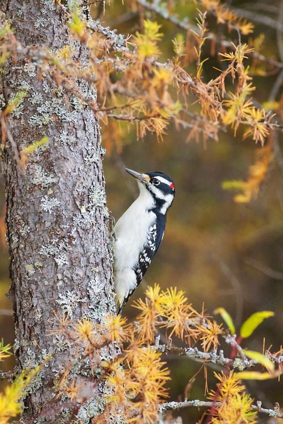 Hairy Woodpecker in gold Tamarack Admiral Rd Sax-Zim Bog MN IMG_8934