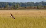 Northern Harrier Crex Meadows Grantsburg WIIMG_6547