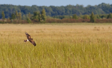 Northern Harrier Crex Meadows Grantsburg WI IMG_6547