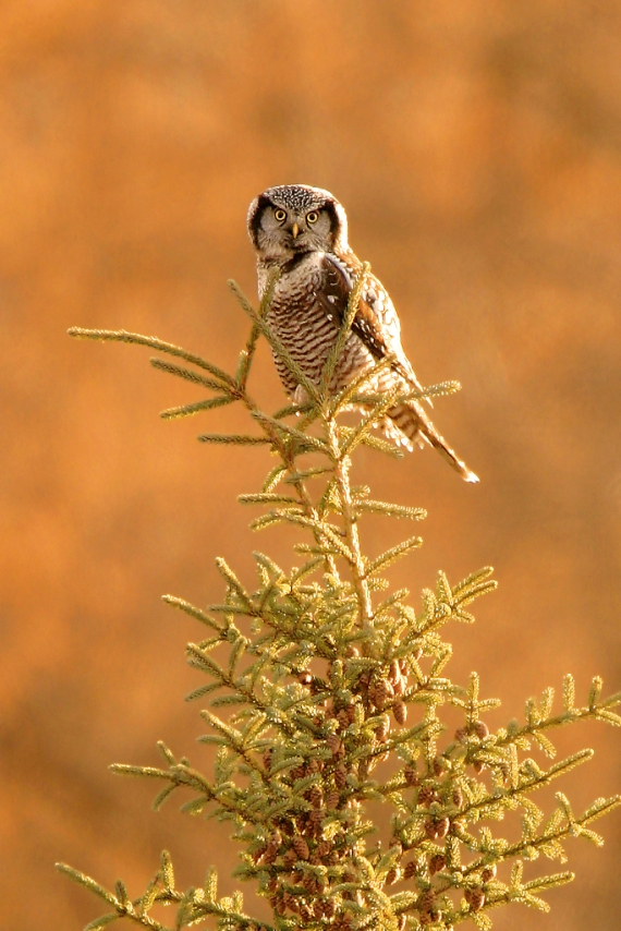 Northern Hawk Owl NHOW-SS (Friesens Test)