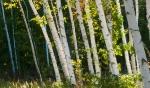 Paper Birch Crex Meadows Grantsburg WIIMG_6412