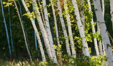 Paper Birch Crex Meadows Grantsburg WI IMG_6412