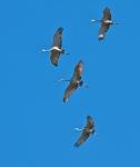 Sandhill Cranes Hawk Ridge Duluth MN IMG_7556