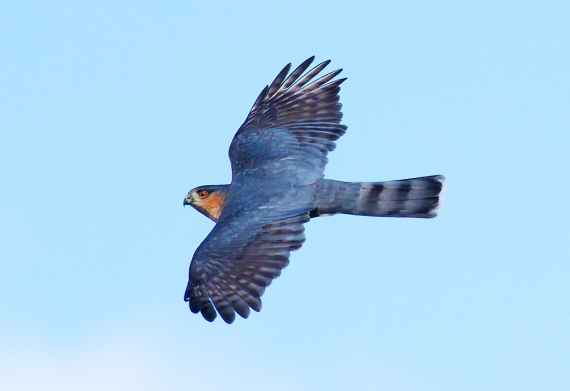 Sharp-shinned Hawk adult Hawk Ridge Duluth MN IMG_7634