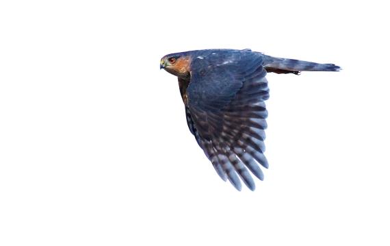 Sharp-shinned Hawk adult Hawk Ridge Duluth MN IMG_7638