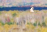 Sharp-shinned Hawk adult Hawk Ridge Duluth MNIMG_7660