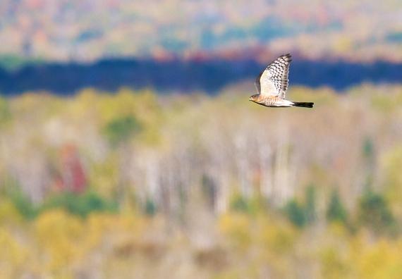 Sharp-shinned Hawk adult Hawk Ridge Duluth MN IMG_7660
