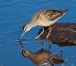 Short-billed Dowitcher juvenile Crex Meadows Grantsburg WIIMG_6357