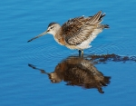 Short-billed Dowitcher juvenile Crex Meadows Grantsburg WIIMG_6398
