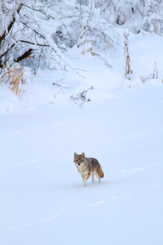 Coyote called in St. Louis River Fond du Lac Duluth MN IMG_1381
