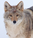 Coyote called in St. Louis River Fond du Lac Duluth MNIMG_1424