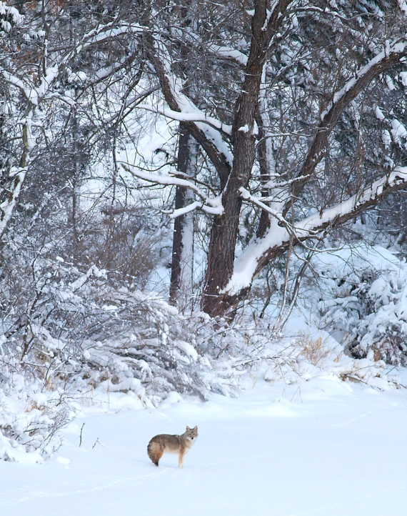 Coyote called in St. Louis River Fond du Lac Duluth MN IMG_1439