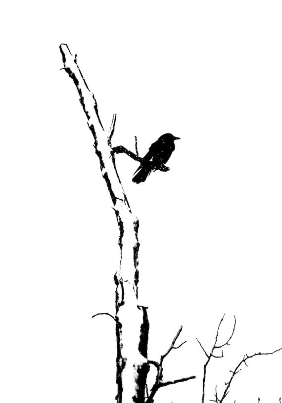 American Crow CR4 Carlton Co MN IMG_7002