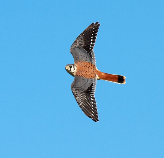 American Kestrel male Hawk Ridge Duluth MN IMG_7609