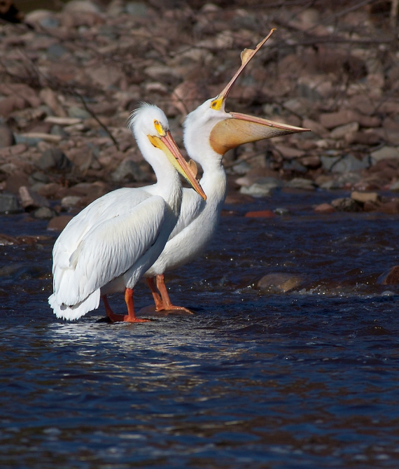 American White Pelican St. Louis River Fond du Lac Duluth MN IMG_9999
