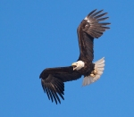 Bald Eagle nr nest Kimmes-Tobin Wetlands Douglas Co WIIMG_7764
