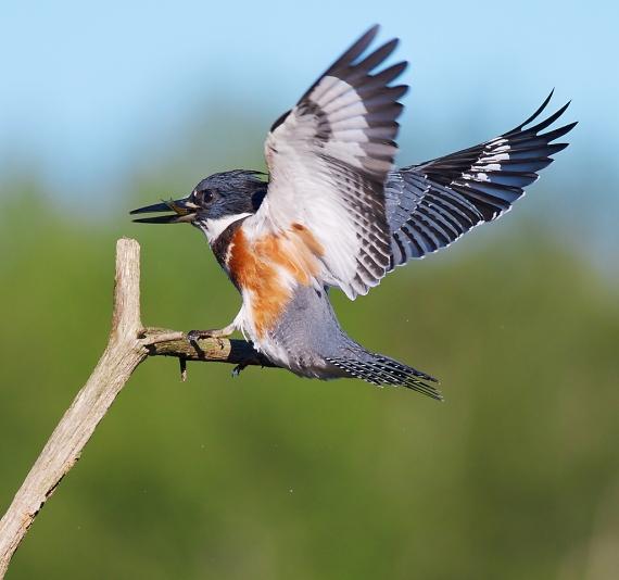 Belted Kingfisher Kimmes-Tobin Wetlands Douglas Co WI IMG_5805