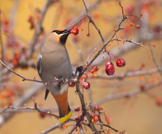 Bohemian Waxwing crabapple Duluth Zoo Duluth MN IMG_8418