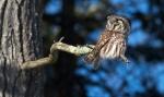 Boreal Owl Dodges Log Lodges Scenic 61 Lake CoMNIMG_0074823