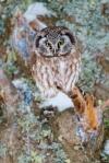 Boreal Owl preens nr Stoney Pt Scenic 61 St. Louis Co MNIMG_0074883