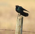 Brewer's Blackbird Felton Prairie Clay Co MN IMG_1642