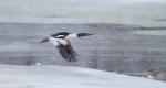 Common Merganser flight St. Louis River Fond du Lac Duluth MNIMG_6969
