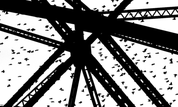 European Starlings Aerial Lift Bridge Canal Park Duluth MN IMG_9944