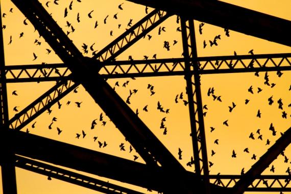 European Starlings Aerial Lift Bridge Canal Park Duluth MN IMG_9946