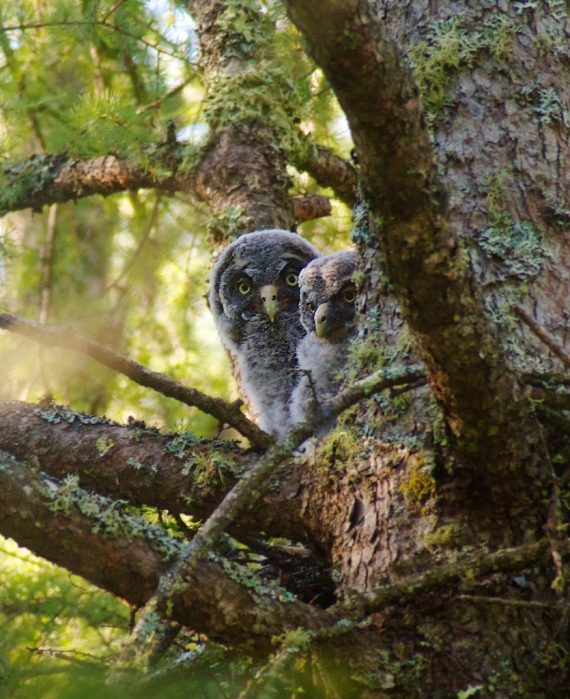 Co mn great gray owl nestlings in nest hedbom rd aitkin co mn img 6410