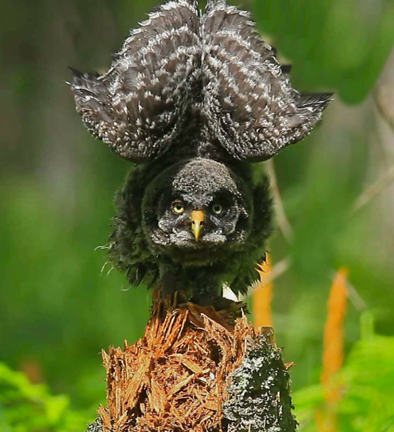 Great Gray Owlet stretching_0002