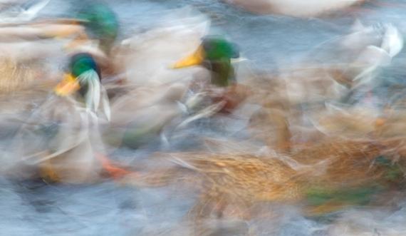 Mallard blurIMG_0074579