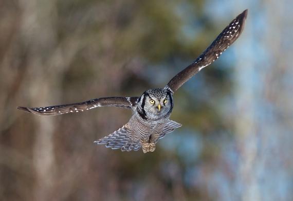Northern Hawk Owl Kolu Ave Sax-Zim Bog MN IMG_0072702