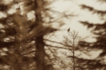 Sharp-tailed Grouse Sax-Zim Bog MNIMG_0072674